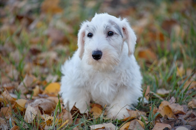 Cute sealyham terrier puppy close up. Welsh border terrier or cowley terrier. Two month old. Pet animals.