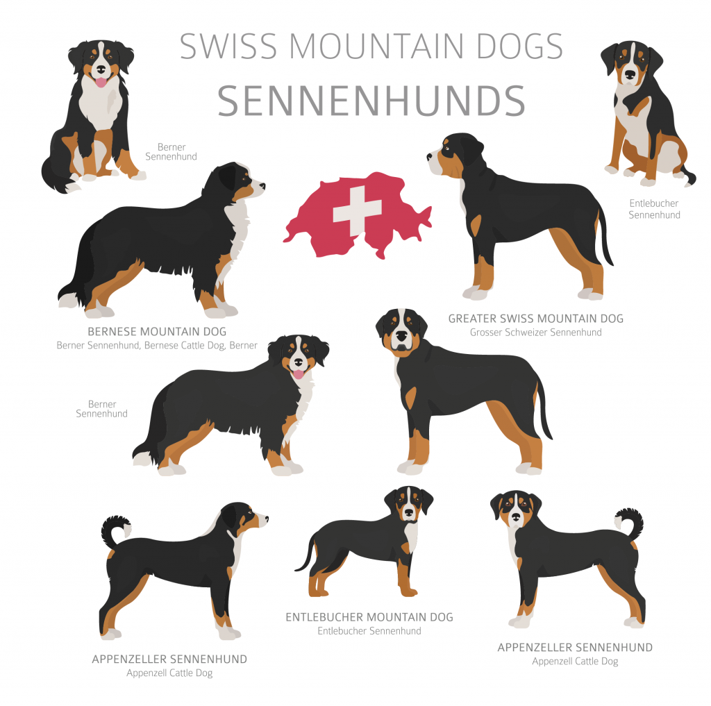 Illustration of Sennenhund dog breeds