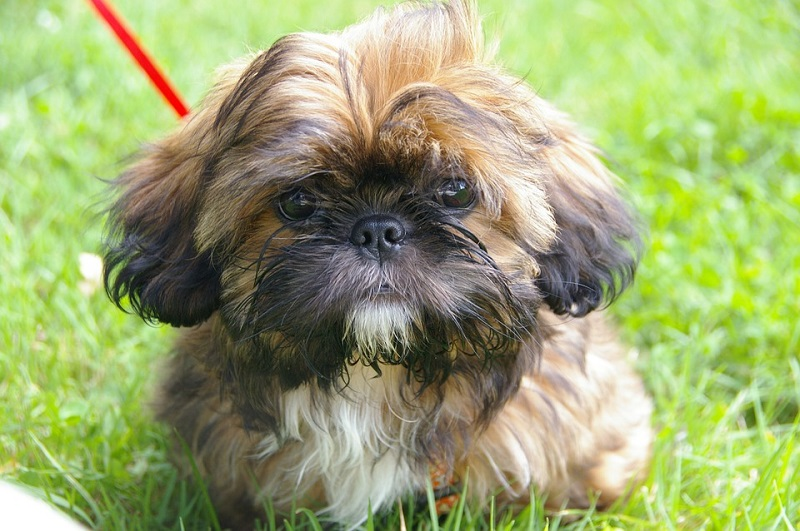 shaggy-shih-tzu-with-brown-black-and-white-coat