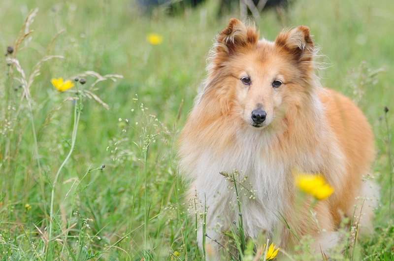 brown and white Shetland sheepdog