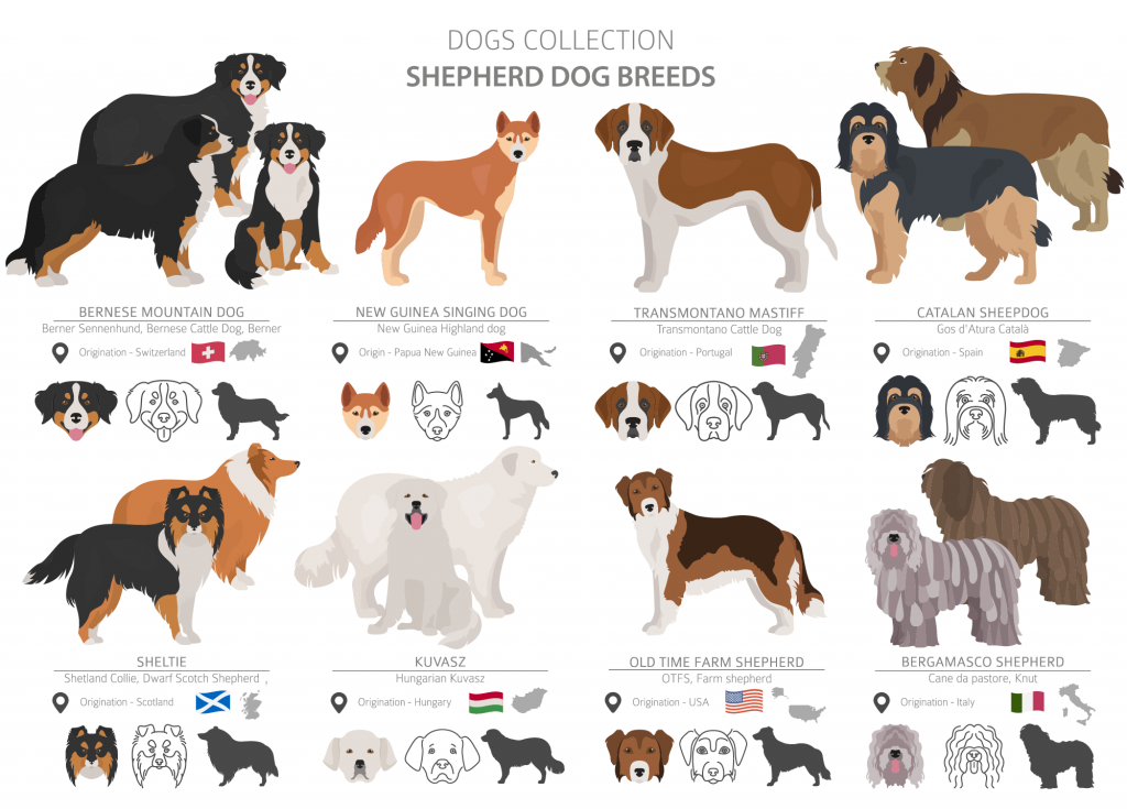 Illustration of shepherd dog breeds