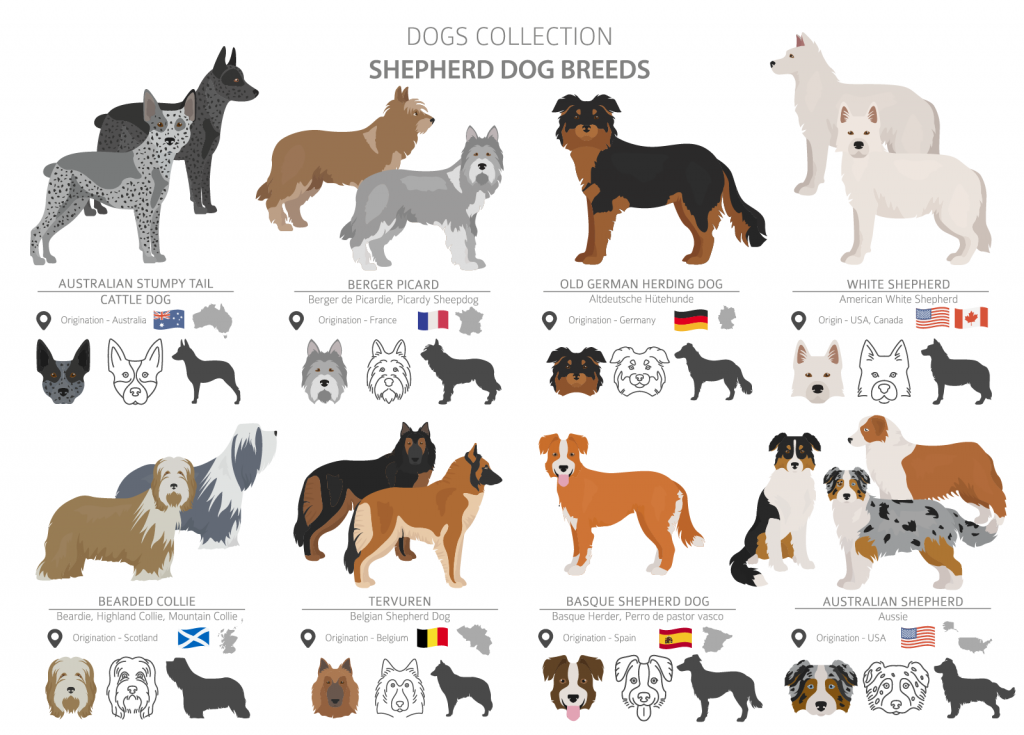 Overview of Shepherd dog breeds