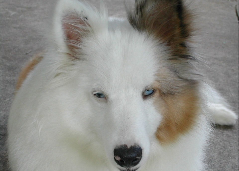 shetland sheepdog with blue eyes