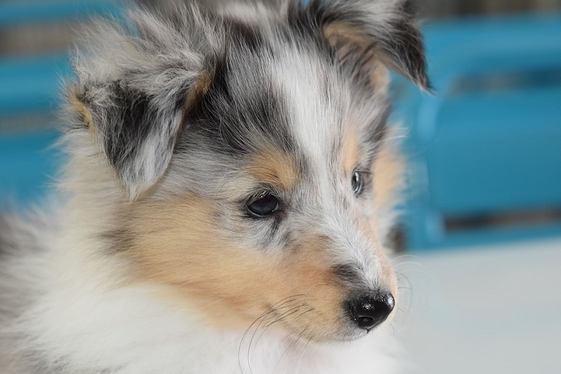 shetland sheepdogs are intelligent and easy to train