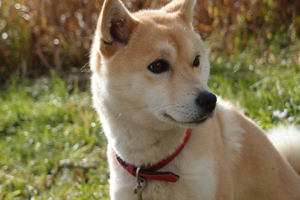 Shiba Inu from the side