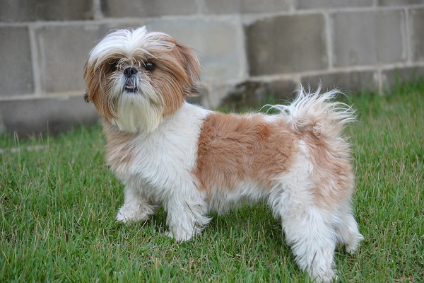 shih tzu dogs that dont shed much