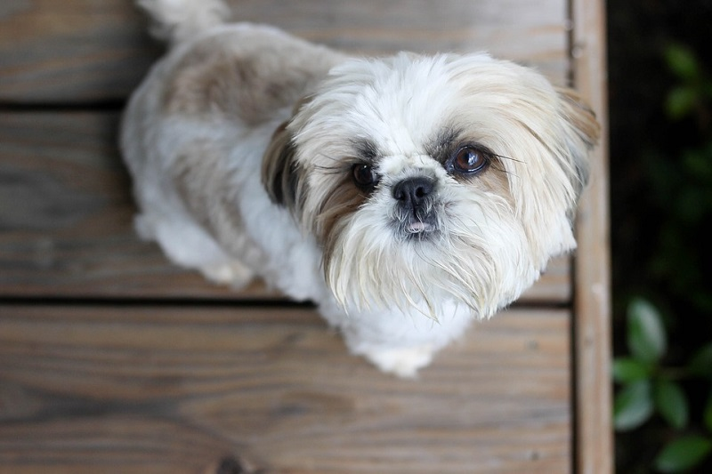 white and brown shih tzu looks up