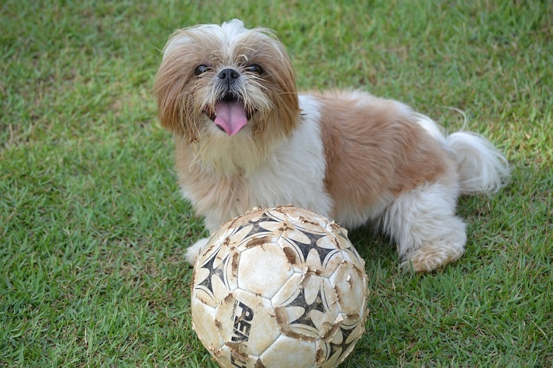 cute white brown shih tzu plays with a ball