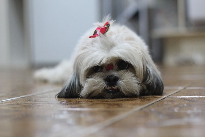 a cute gray shih tzu puppy with bow in hair