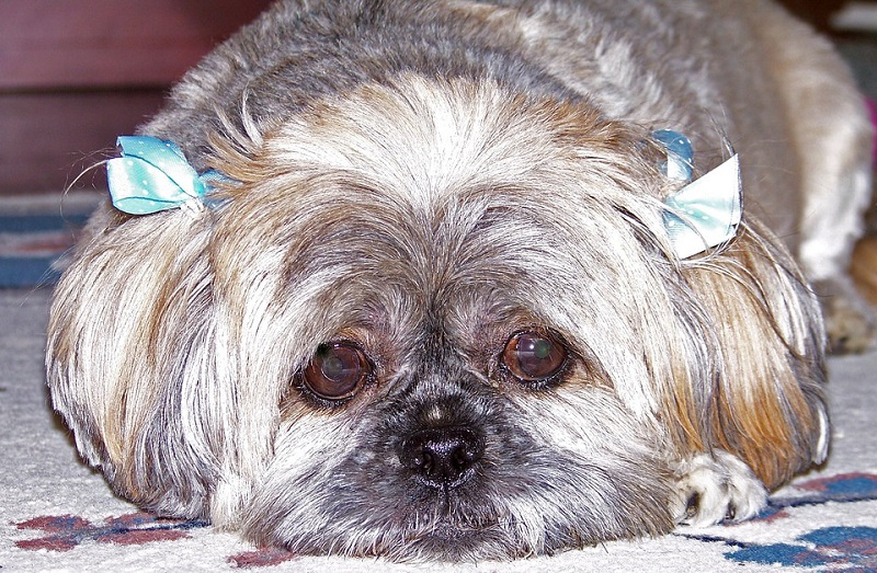 shih-tzu-with-two-bow-ties-on-ears
