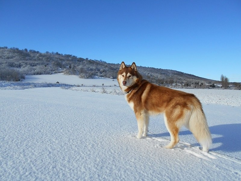 A beautiful red Siberian Husky on the snow