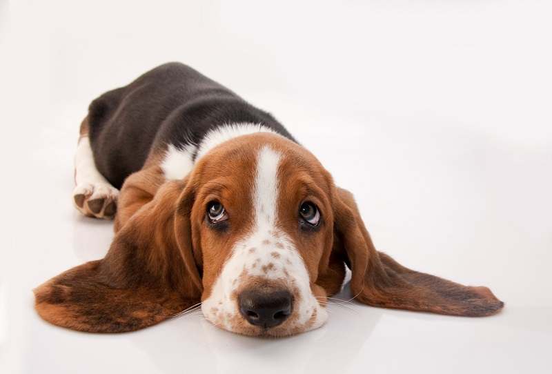 basset hound puppy lying down looking up isolated on white background