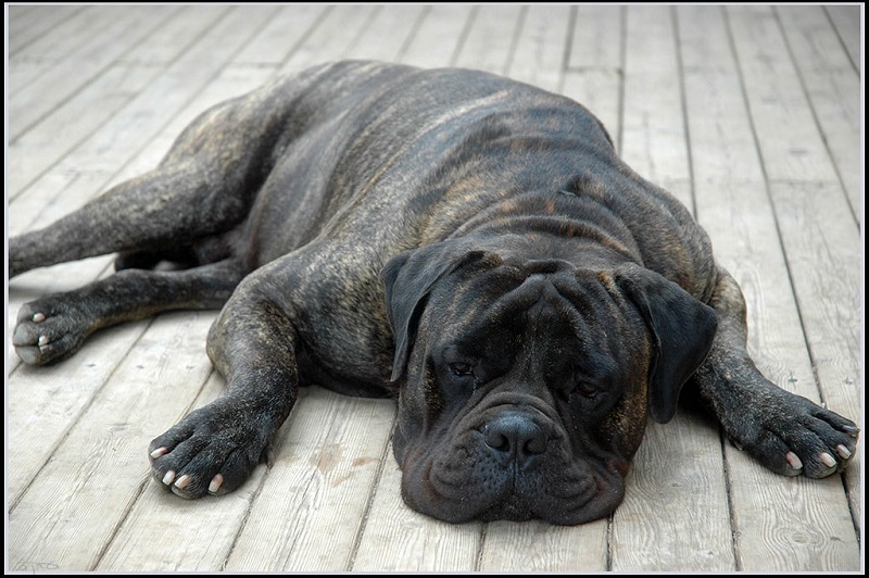 sleeping brindle-coat bullmastiff on wooden floor