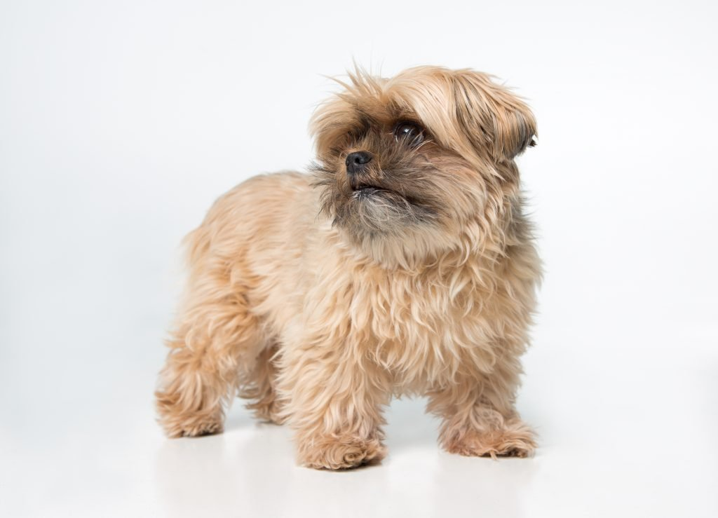 Shorkie isolated on bright background