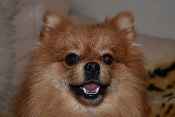 Groomed brown Spitz