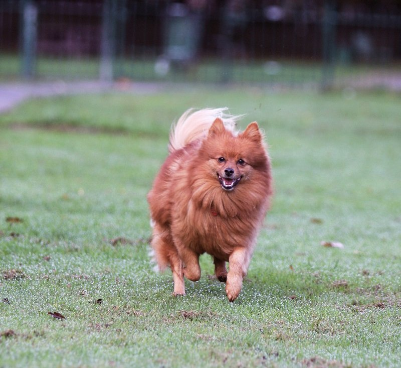 Spitz red dog Pomeranian breed running