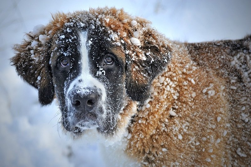 st bernard temperament