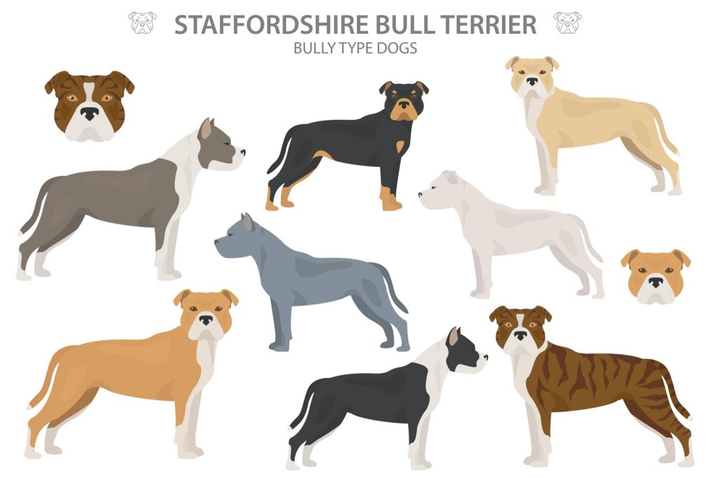 Illustration of Staffordshire Bull Terrier types and colors