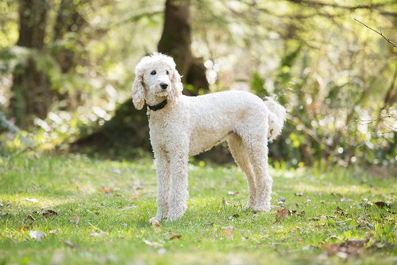 White Standard Poodle standing in yard