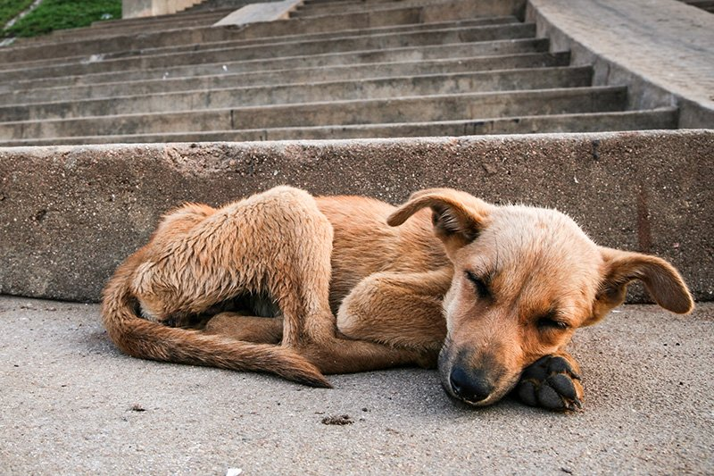 Skinny stray dog sleeping on stairs