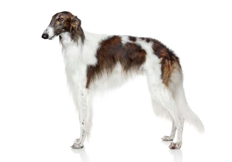 Russian borzoi dog. Side view on white background