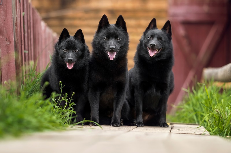 3 cute schipperke dogs sitting next to each other