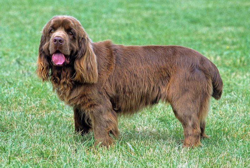 Sussex Spaniel on the grass
