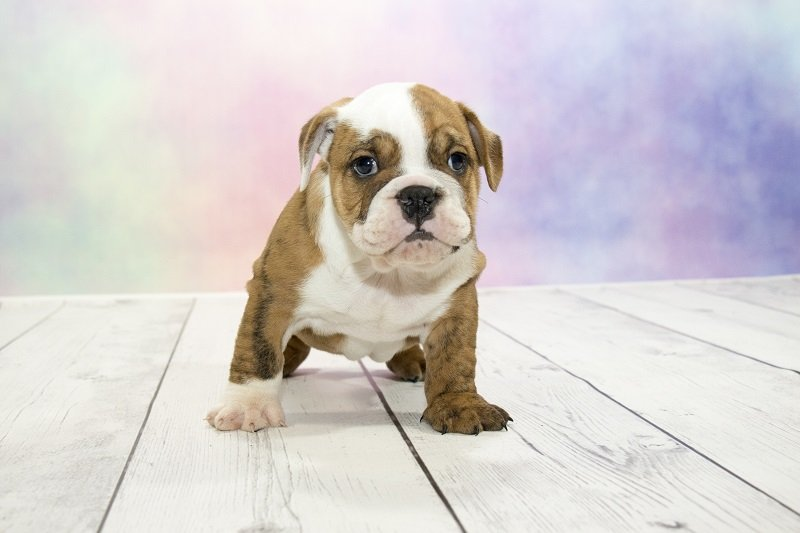 Victorian Bulldog puppy standing looking into camera
