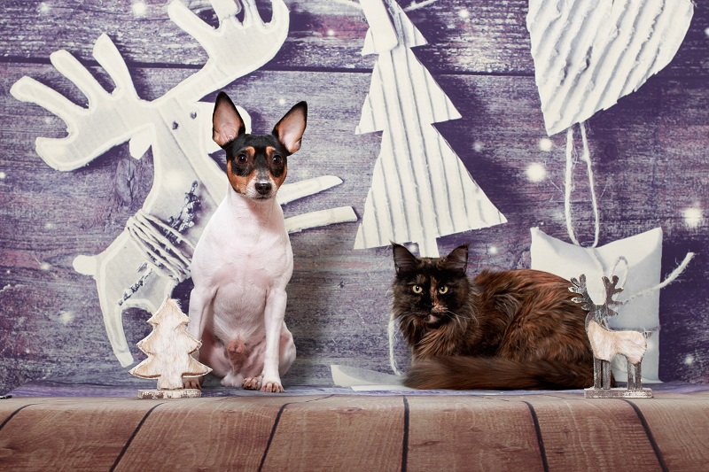 a cat and an American toy fox terrier pose together