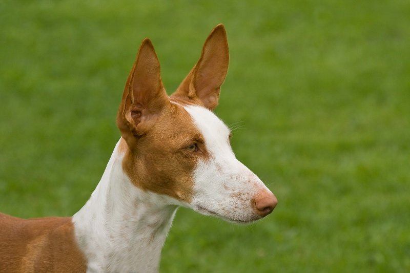 Ibizan Hound head shot