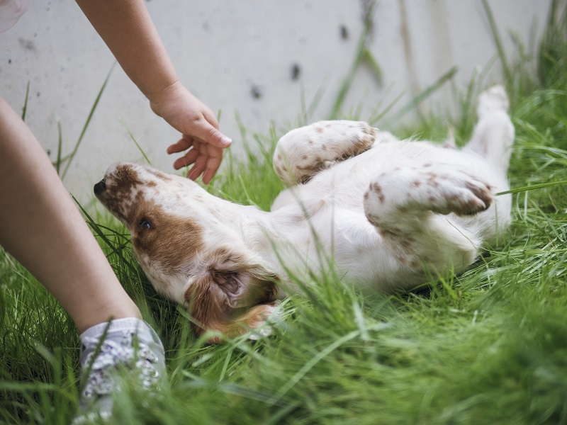 clumber spaniel puppy paws up on the meadow and girl scratching it
