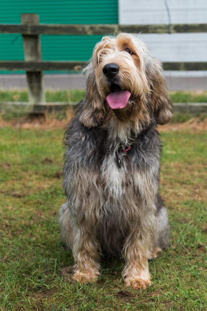 Otterhound in a field looking towards the camera with tongue out