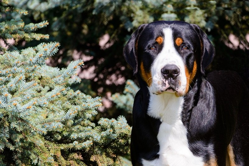 Greater Swiss Mountain Dog portrait. The Greater Swiss Mountain Dog