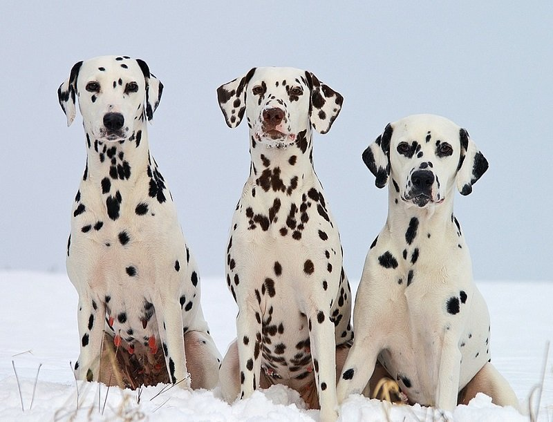 Three beautiful Dalmatians sitting next to each other