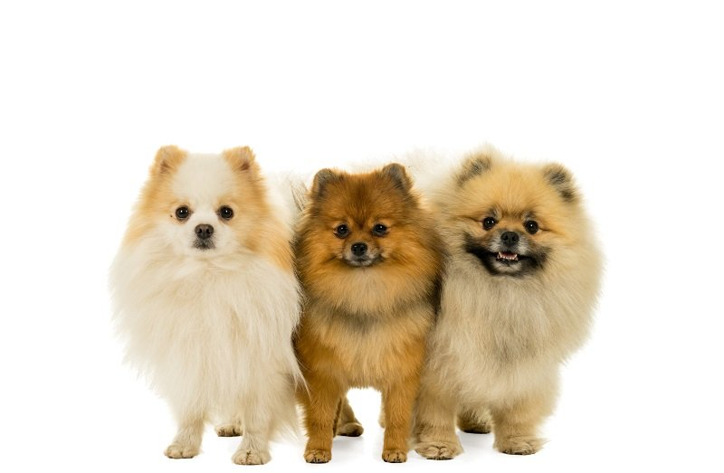 Three Pomeranian dogs standing in a row looking at the camera isolated on white