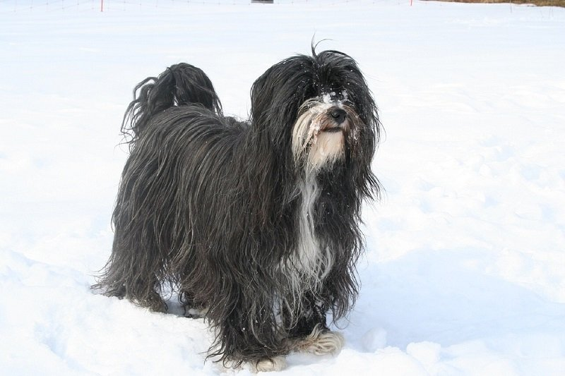 a black and white longhaired Tibetan terrier on the snow