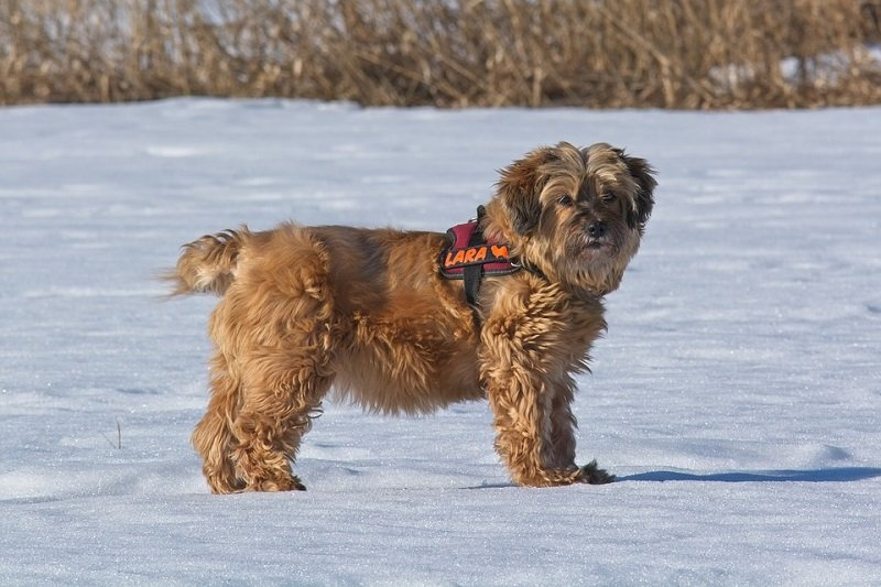 Tibetan terrier standing on snow