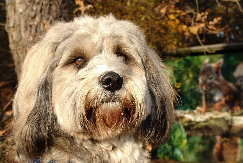 A tibetan terrier with beautiful brown eyes