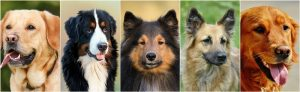 collage of dog breeds