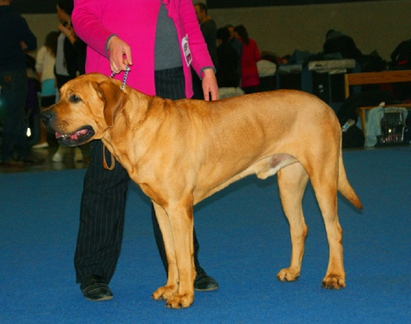 tosa at a dog show