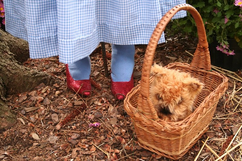 Cairn Terrier from the Wizard of Oz in basket