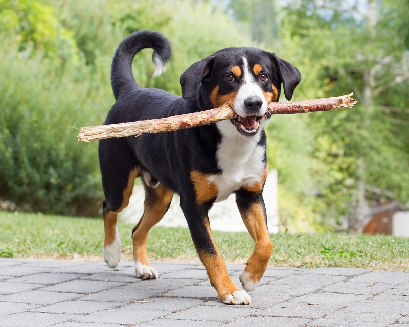 young entlebucher puppy with a stick in his mouth