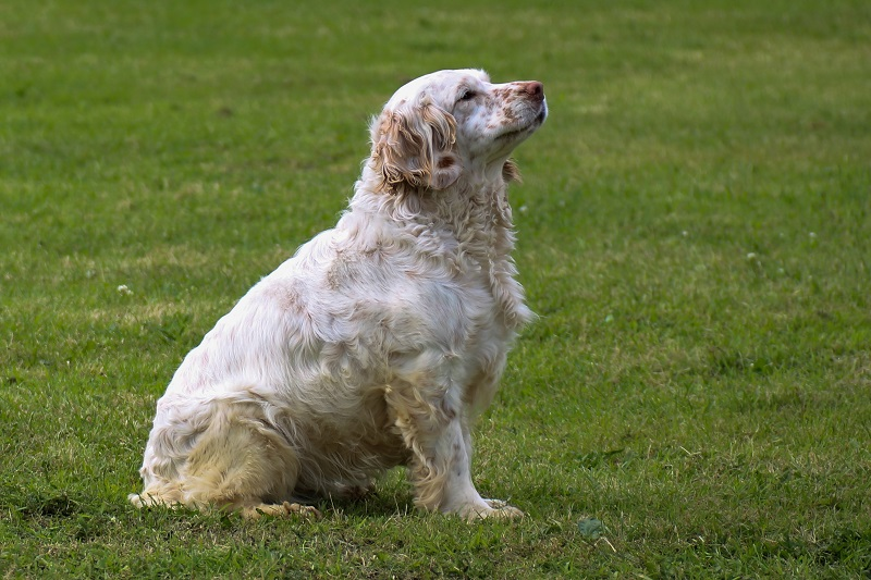 Clumber Spaniel dog waiting in a field