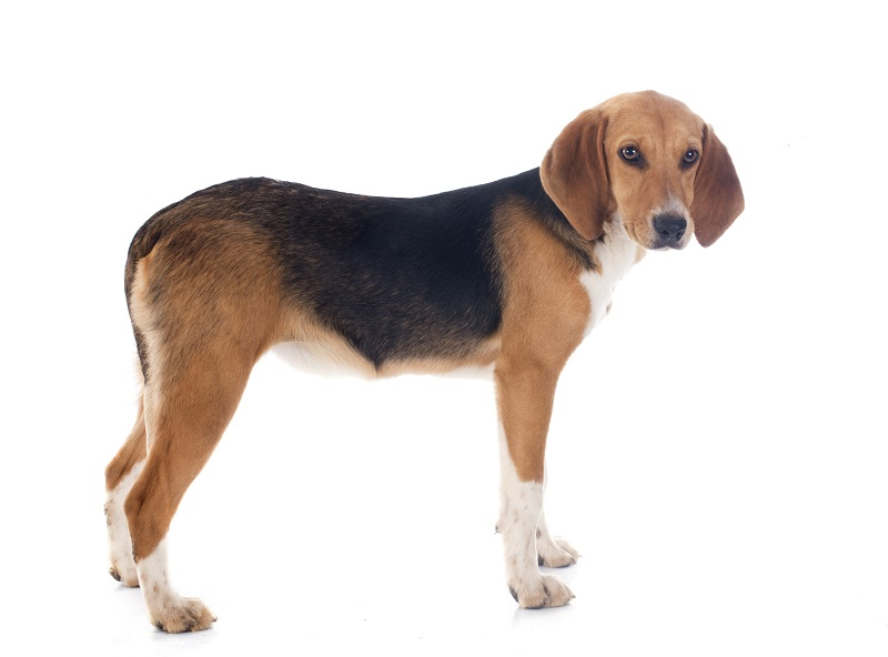 beagle harrier dog mix breed