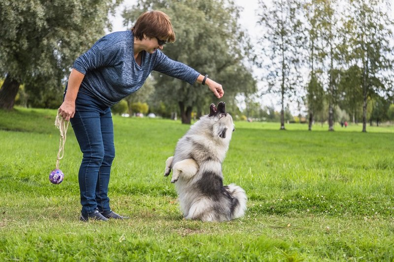 Middle-aged woman teaches Keeshond puppy teams outdoors. The puppy is sitting on its hind legs. Early autumn
