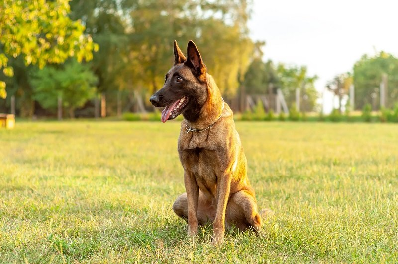 Portrait of a beautiful Malinois Belgian Shepherd dog while sitting on the grass on a sunny day.