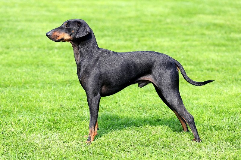 The lovely Manchester Terrier in a garden