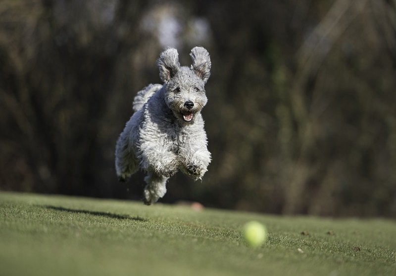 Pumi in action
