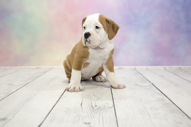 Victorian Bulldog pup sitting on floor with purple background