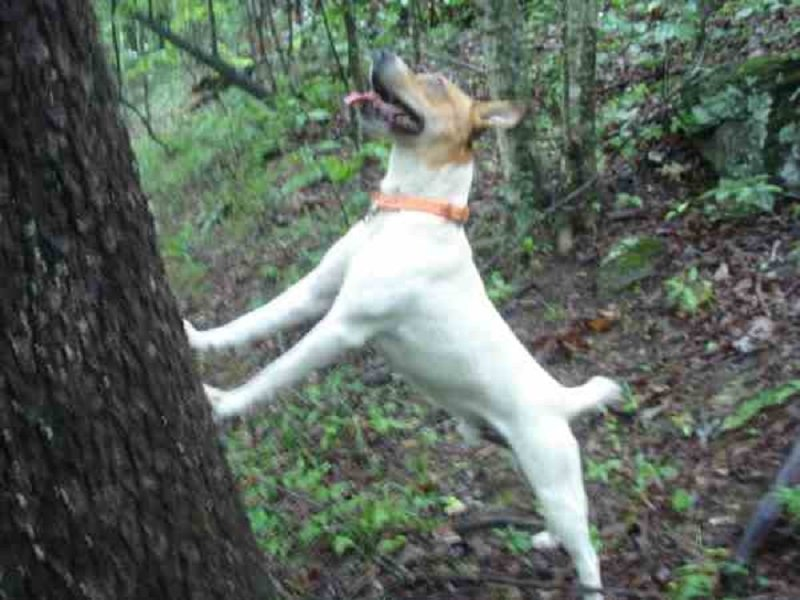 a treeing feist trees a squirrel